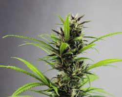 Czy marihuana zwiększa podatność na psychozę?
